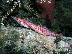 Nice pair of long nosed hawkfish on a ledge by Rob Spray 